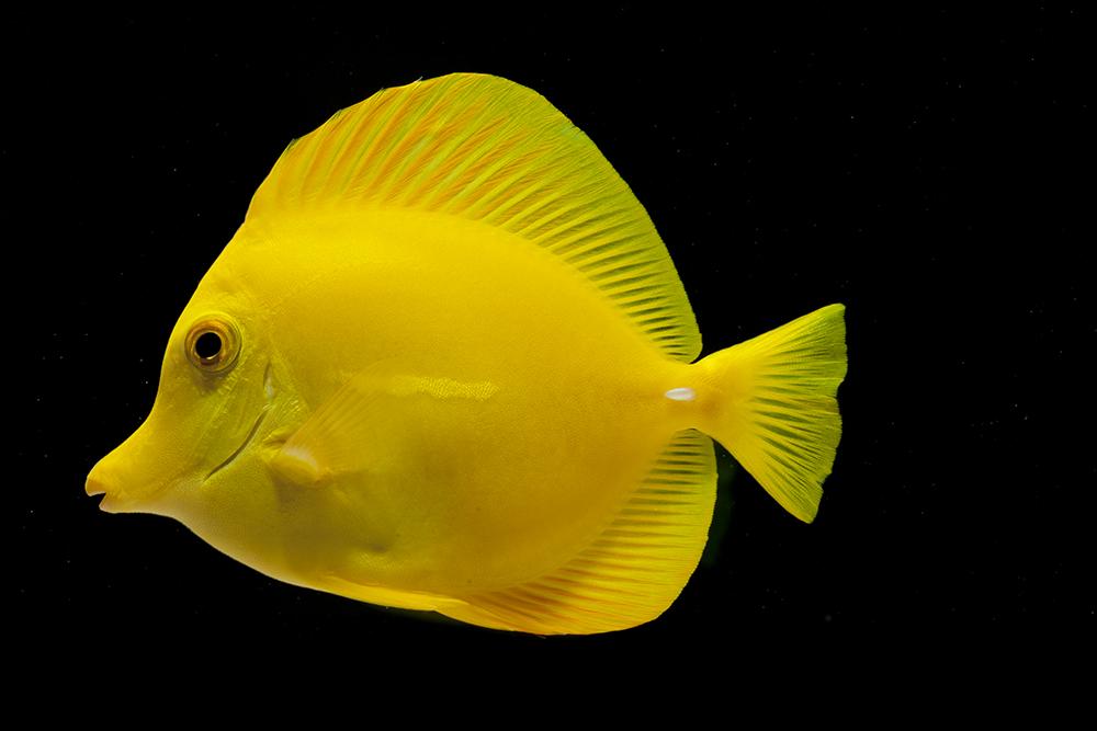 yellow tang1.jpg