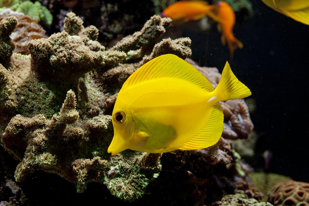 yellow tang2.jpg
