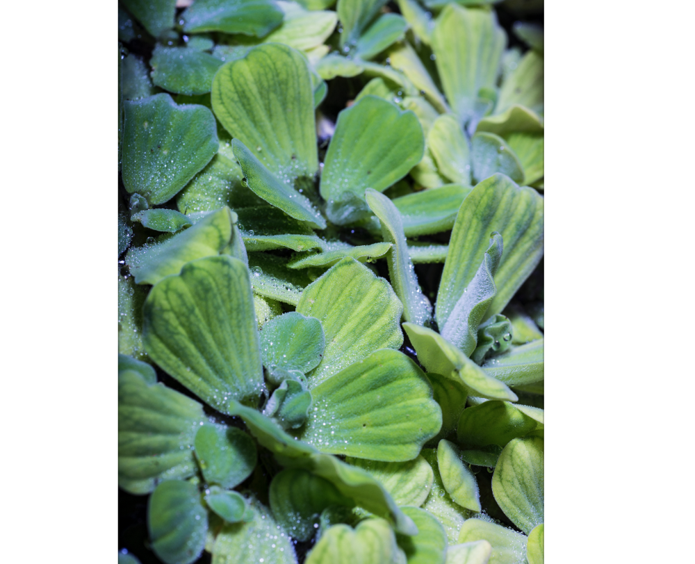 Water lettuce,  Pistia stratiotes.