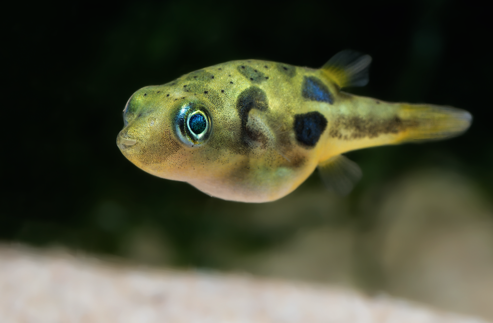 Join the puffer fish fan club practical fishkeeping for Puffer fish price