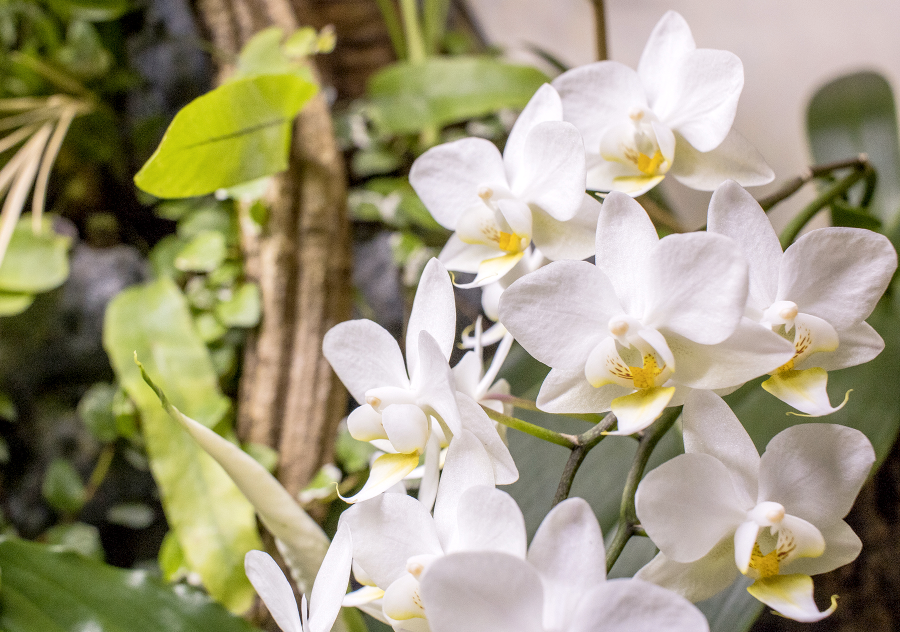 Phalaenopsis    lend themselves well to the lush wall.
