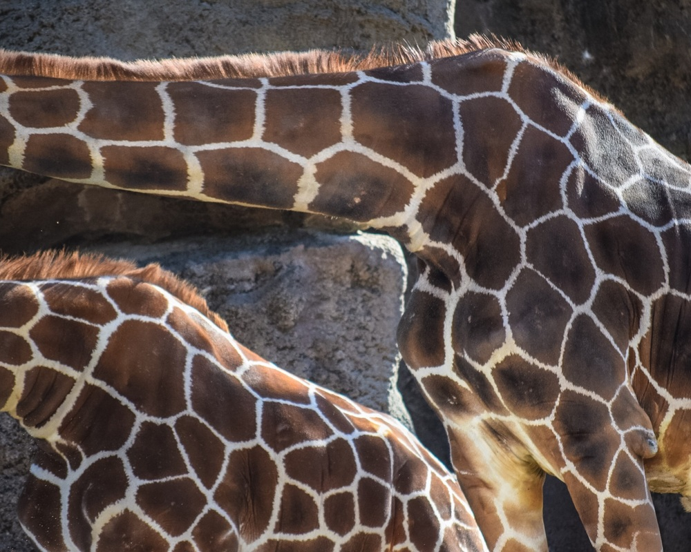 Contrary to popular belief, the necks of Somali Giraffes only feature seven vertebrae