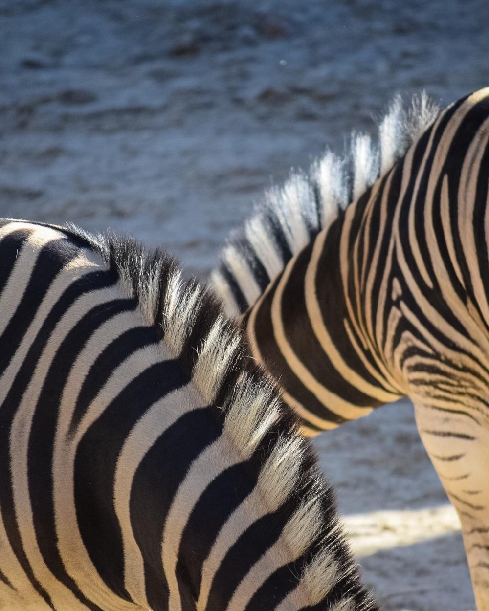 Chapmans's Zebras are a subspecies of the plains zebra