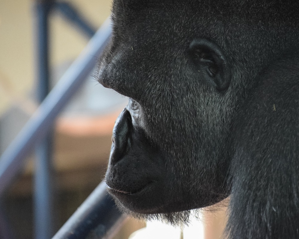 In the past 25 years, the populations of the Western Lowland Gorilla has been reduced by half due to poaching and disease.