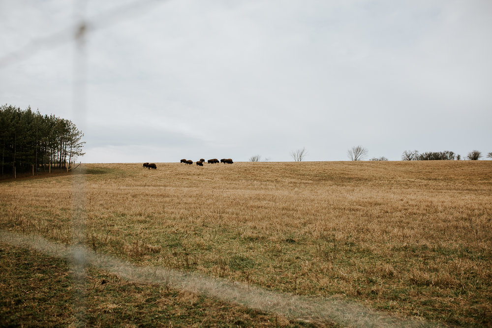 buffalo grazing on hill through fence - uxbridge photography