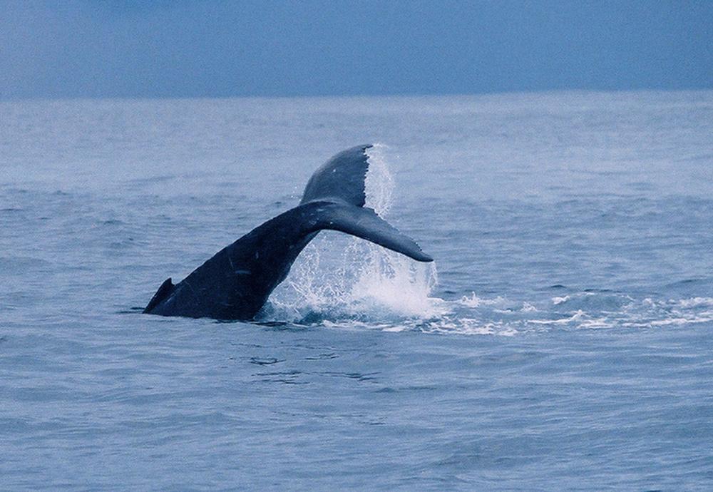 Costa RIca whale tail.JPG