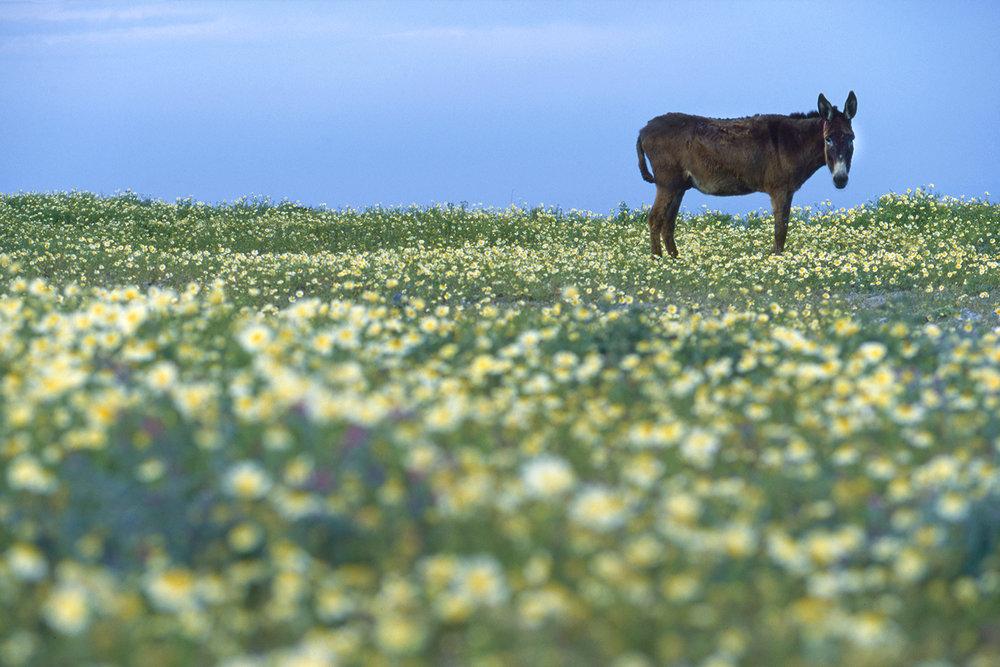 Troy Glasgow Santorini Donkey.jpg