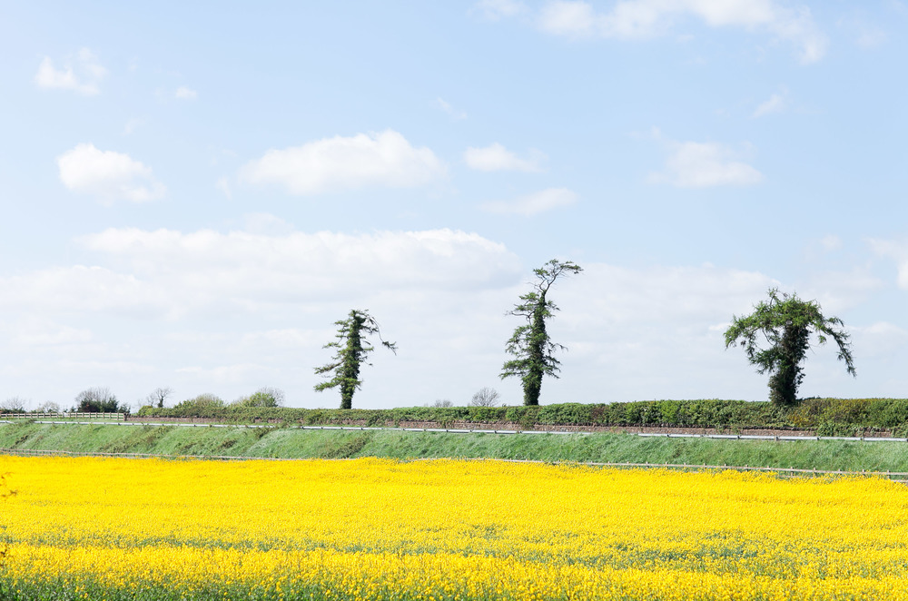 Yellow field in Meath, Ireland