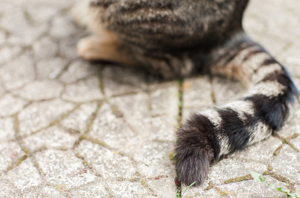 Tabbie Cat