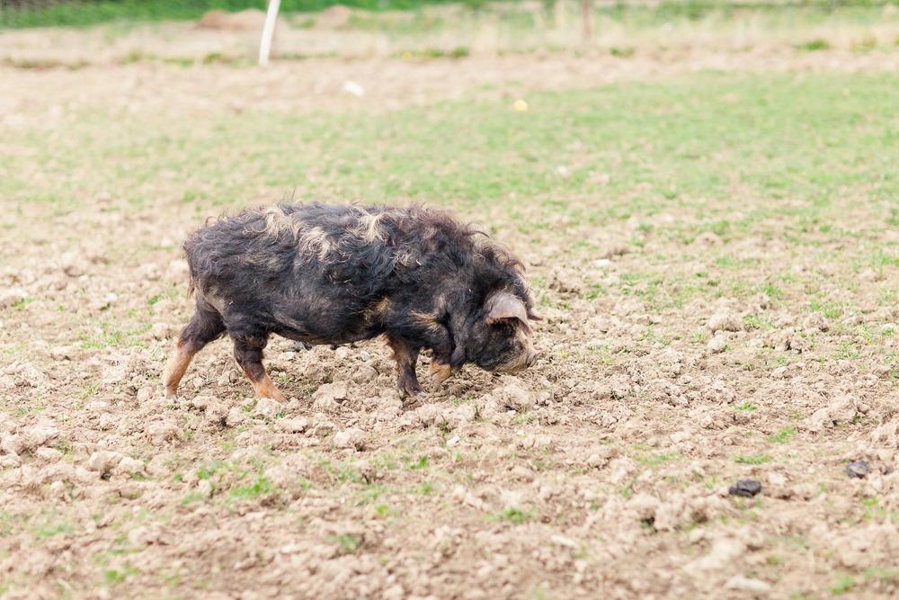 Animal Farm-0001.jpg