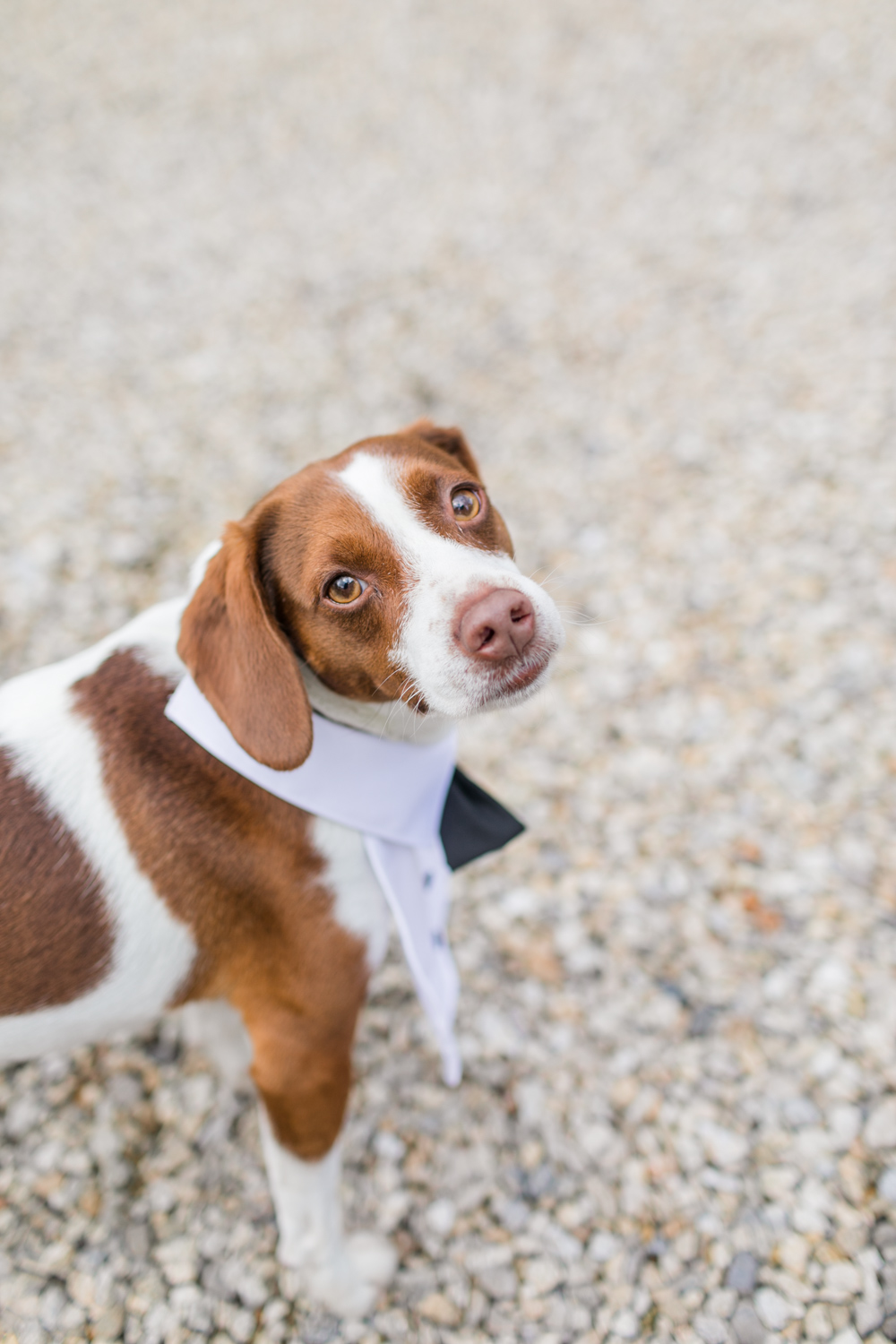 jack russel on the day of the wedding wearing a bow