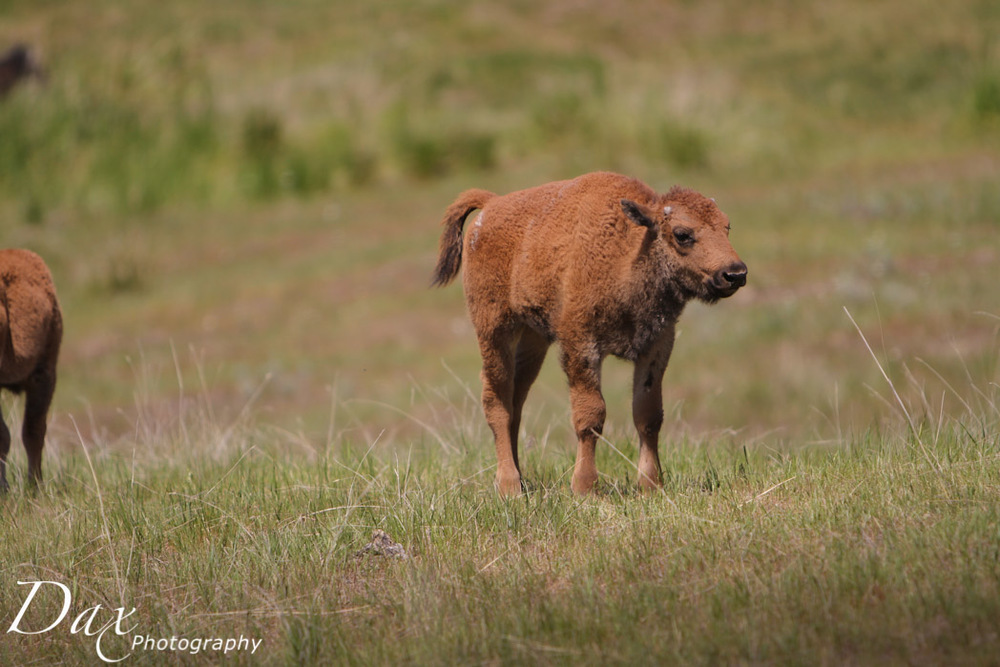 wpid-Montana-Bison-Range-Wildlife-1230.jpg