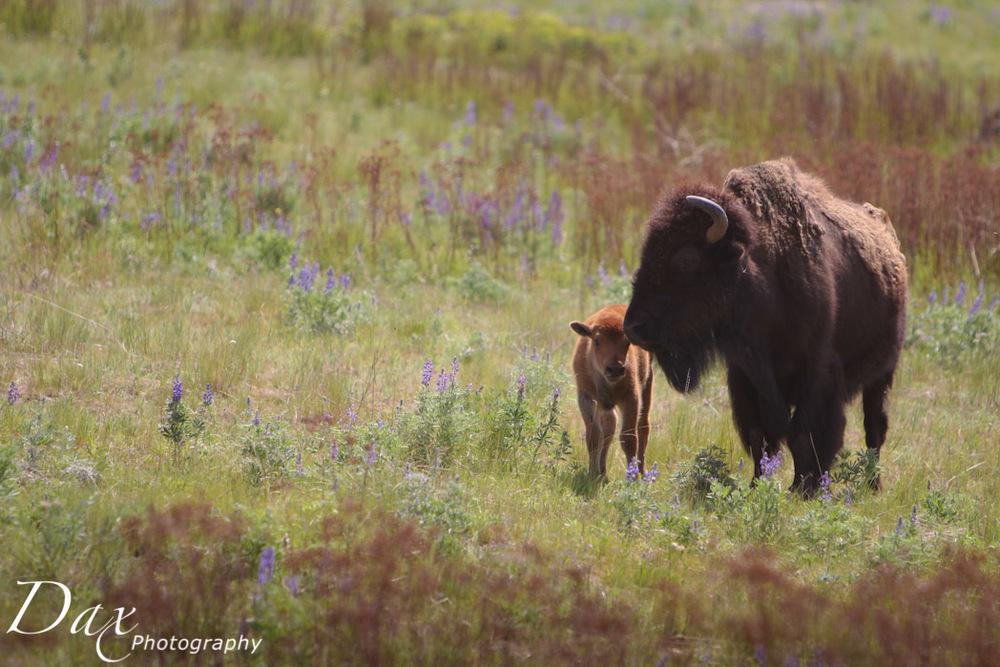 wpid-Montana-Bison-Range-Wildlife-1251.jpg