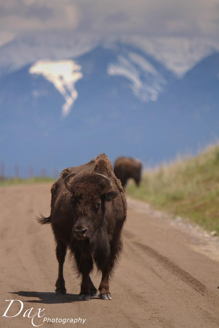 wpid-Montana-Bison-Range-Wildlife-1346.jpg