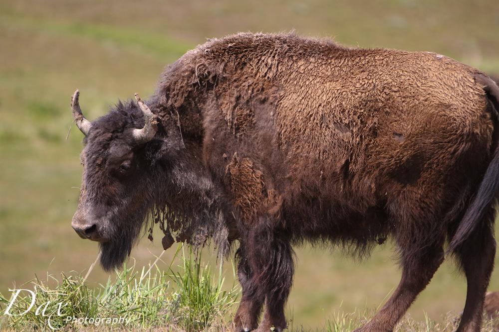 wpid-Montana-Bison-Range-Wildlife-1193.jpg