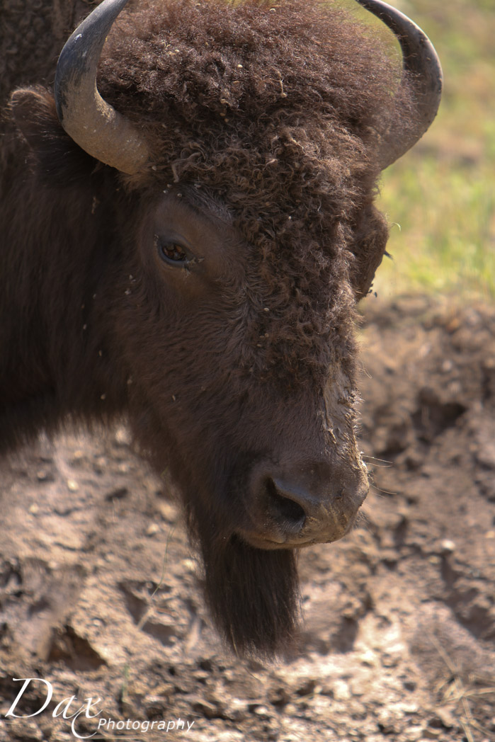wpid-Montana-Bison-Range-Wildlife-1317.jpg