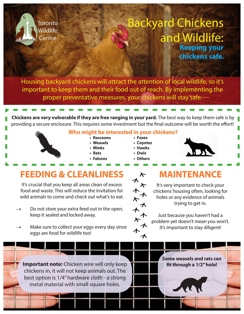 Backyard chickens and wildilfe-1.jpg