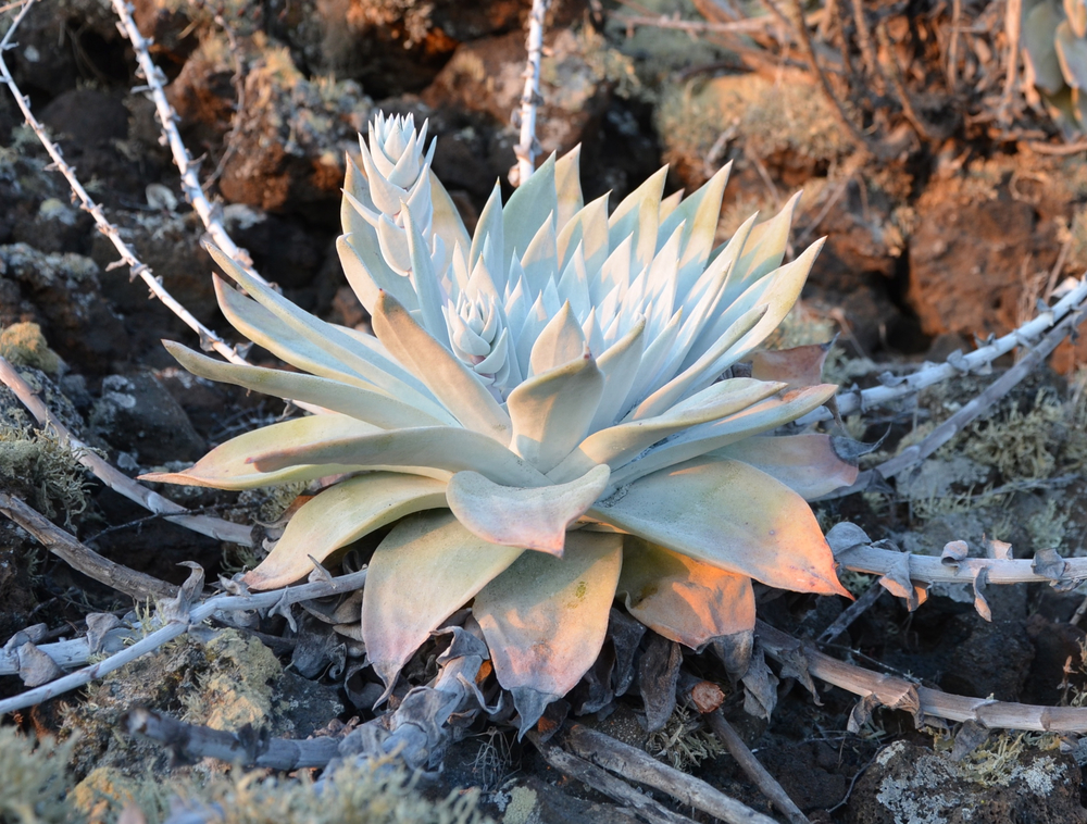 Dudleya anthonyi 13.5%22 wide x 10.5%22.jpg