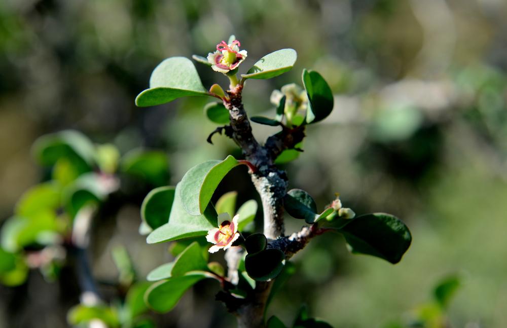 Euphorbia misera2.jpg