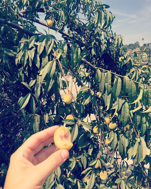 Breakfast is served! Cruising public fruit trees on my morning reservoir walk and I see these!!!! Little peaches and figs. Eating off of nature's bounty is the BEST! 💗🙏🏽😍