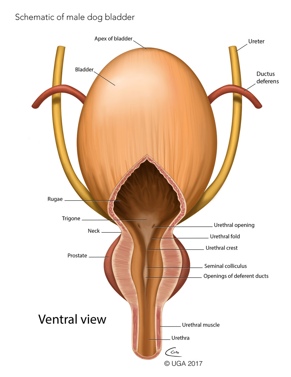 Ventral Male Dog Bladder