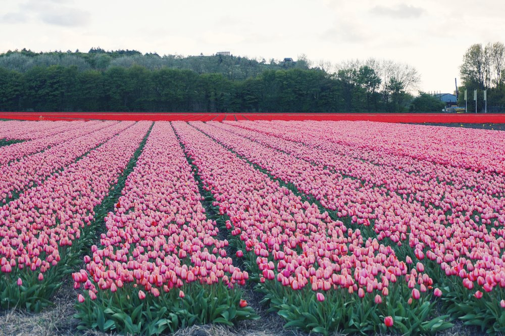 Tulips in Holland 3.jpg