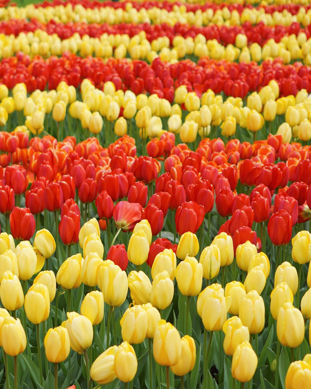Tulips in Holland 6.jpg