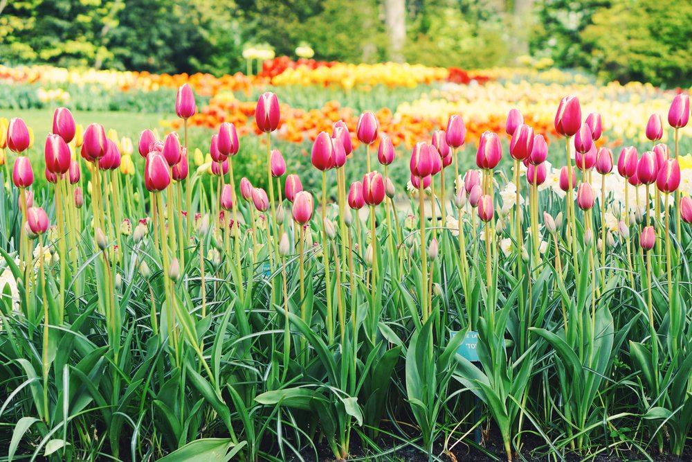 Tulips in Holland 5.jpg