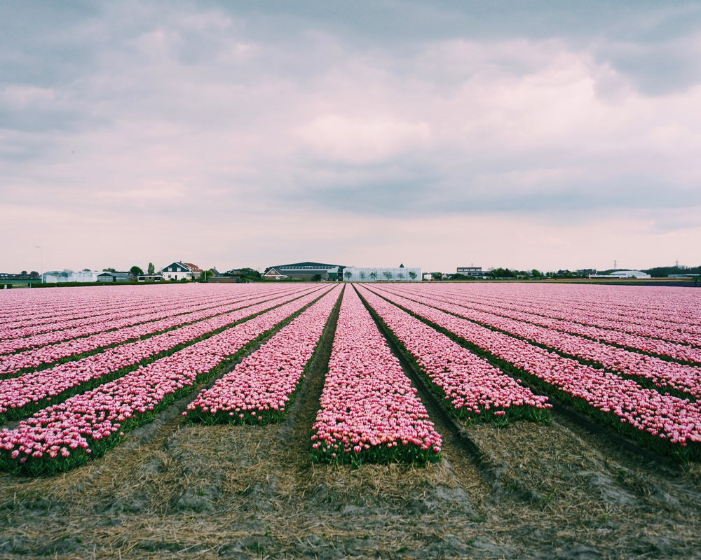 Tulips in Holland 7.jpg