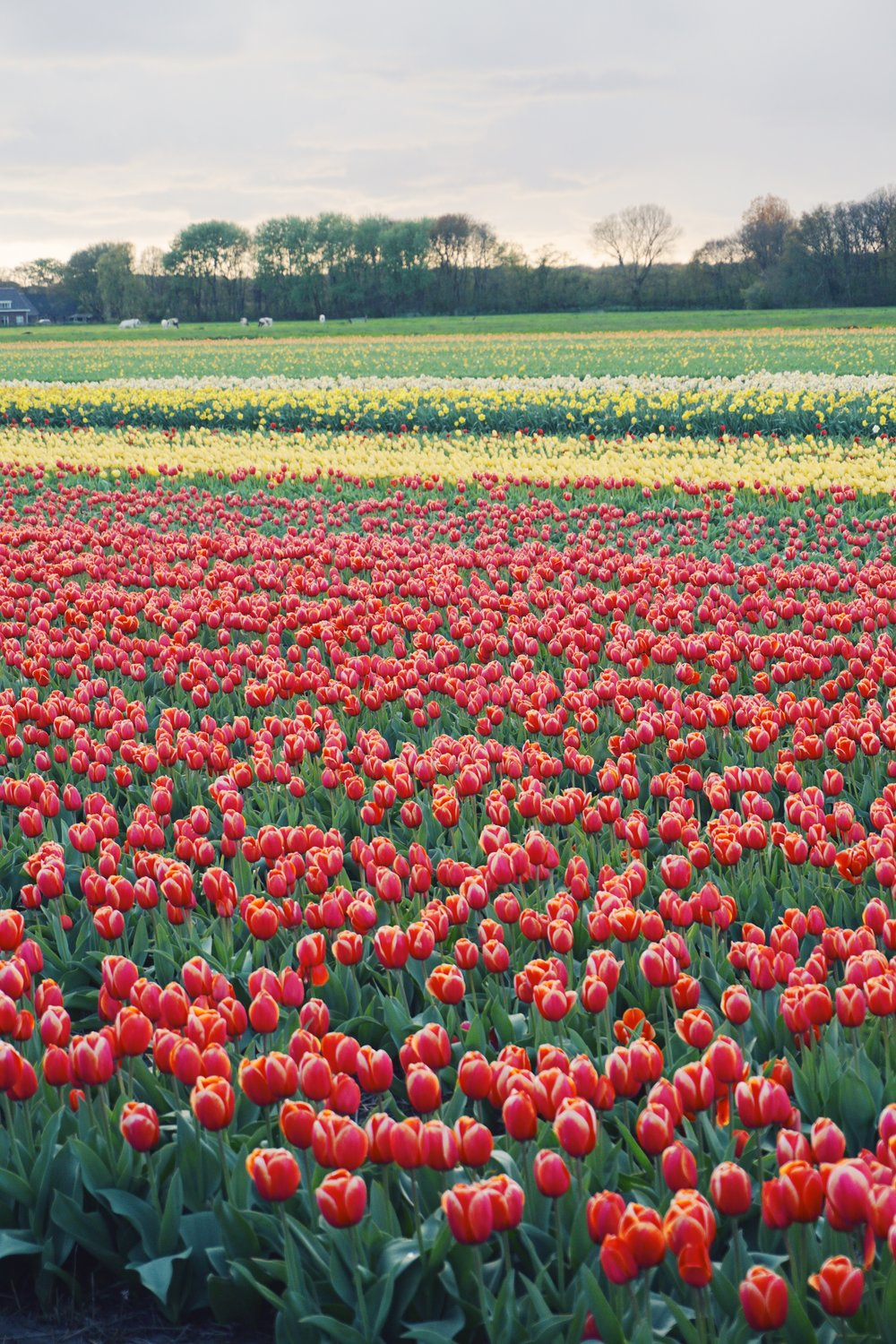 Tulips in Holland 12.jpg