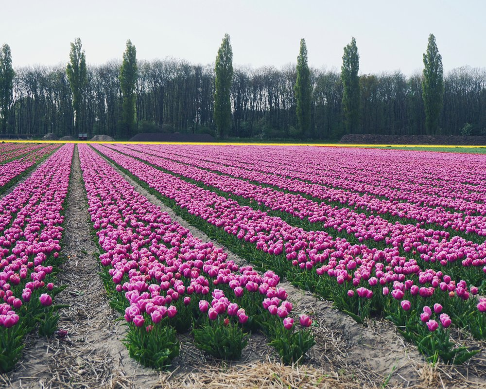 Tulips in Holland 14.jpg