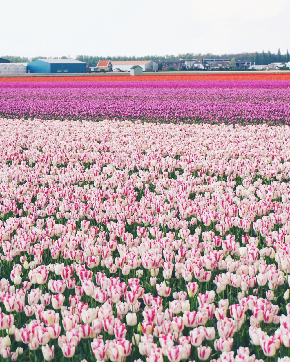 Tulips in Holland 17.jpg