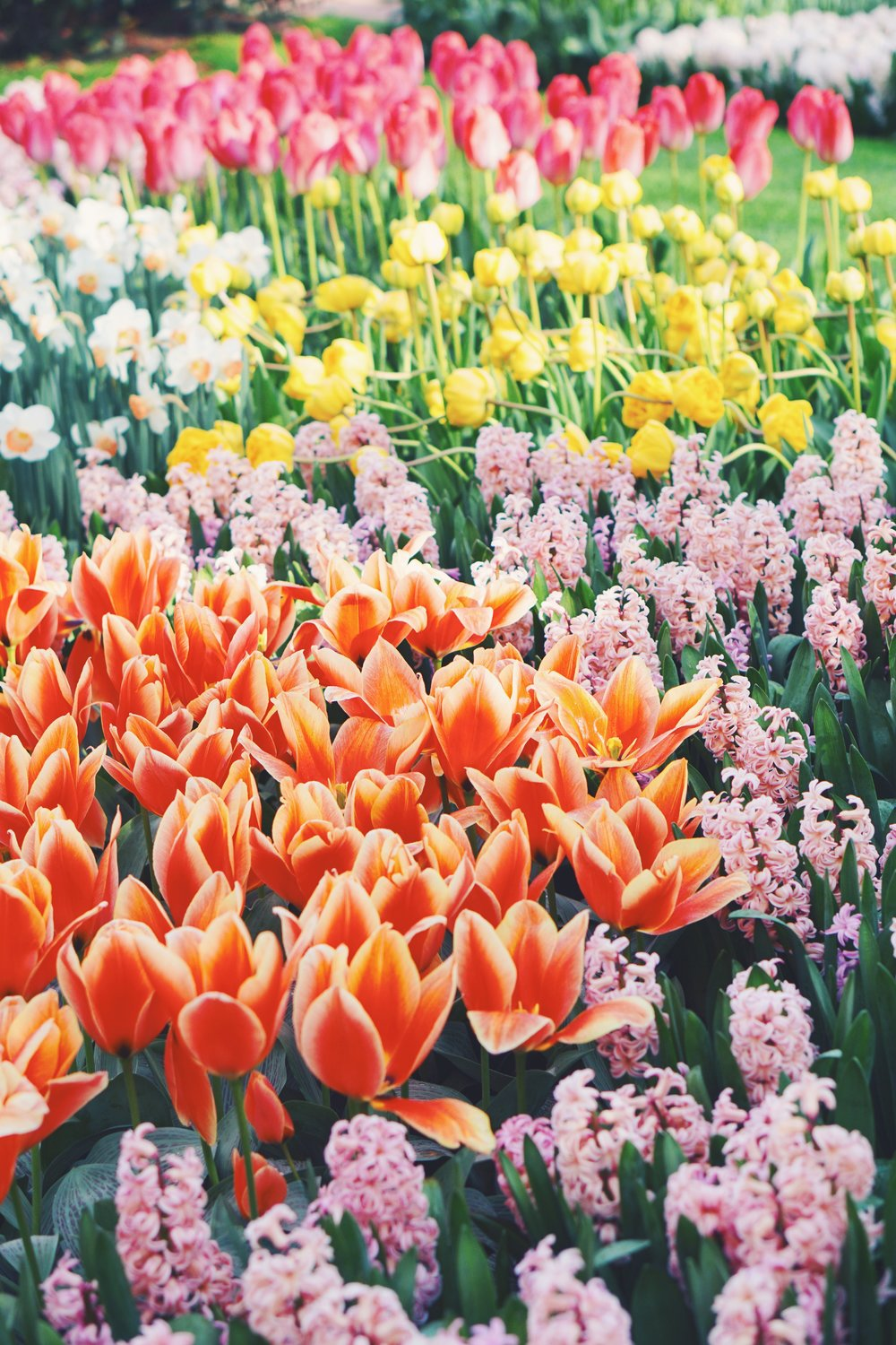 Tulips in Holland 19.jpg