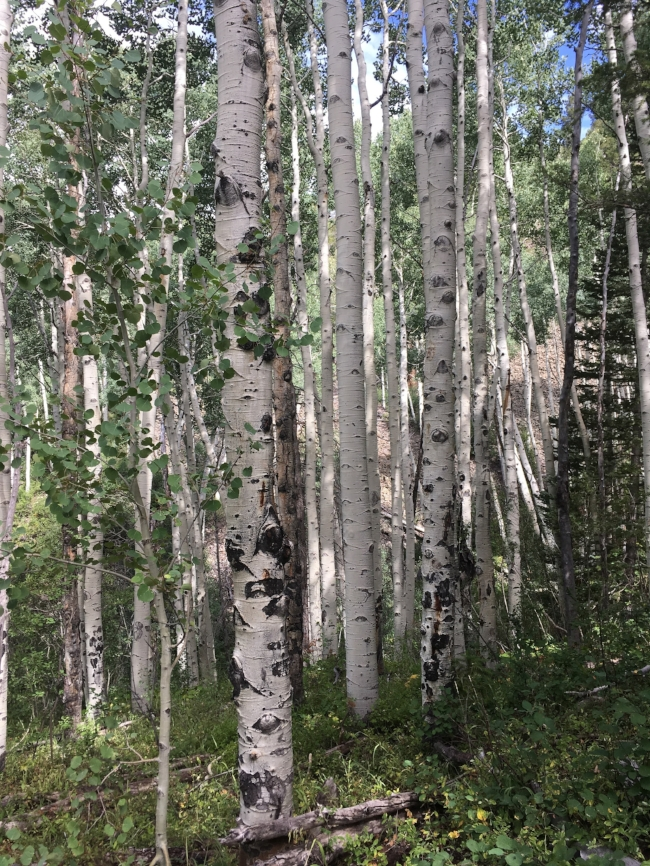 One of the aspen groves we passed through on the way to the top.