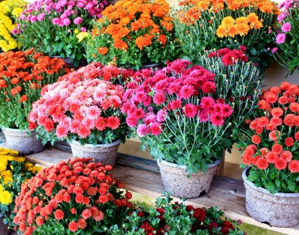 fall mums and sweet treats historic park mccullough