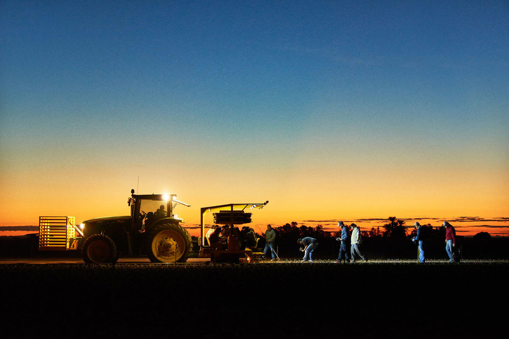 A crew planting cabbage and kale, working before sunup to beat the late-summer heat