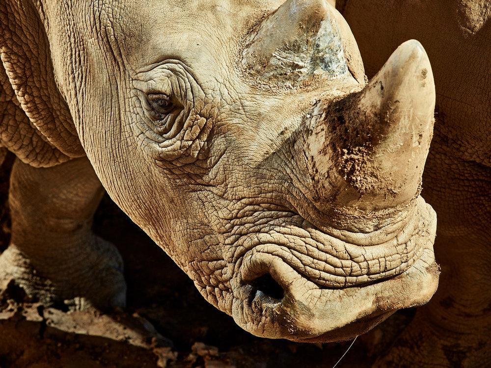 Amani, a female Southern White Rhino, San Diego Zoo, CA