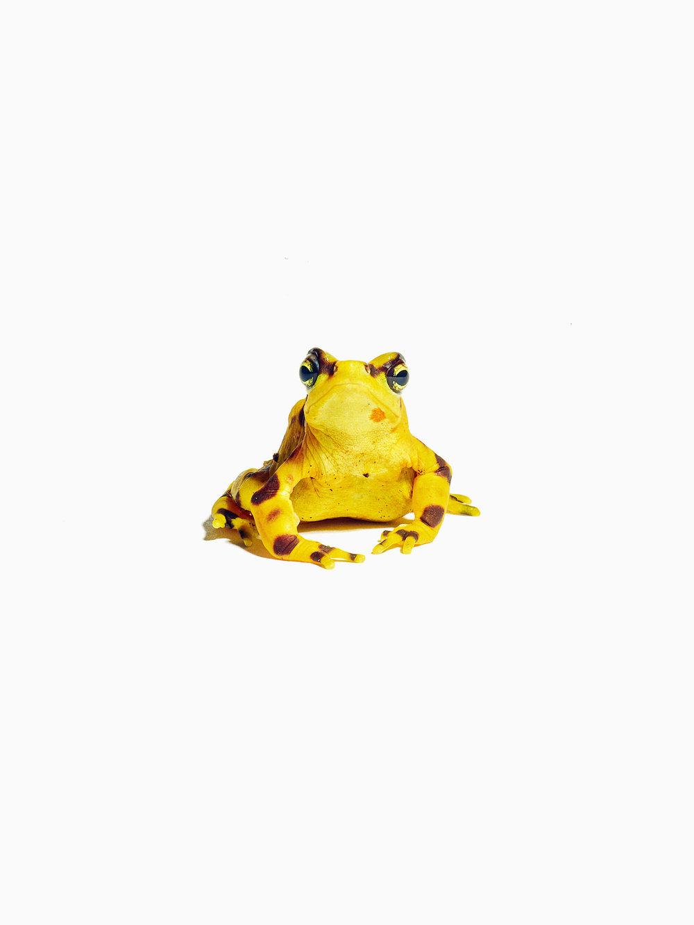 Male Panamanian Golden Frog, Smithsonian National Zoo