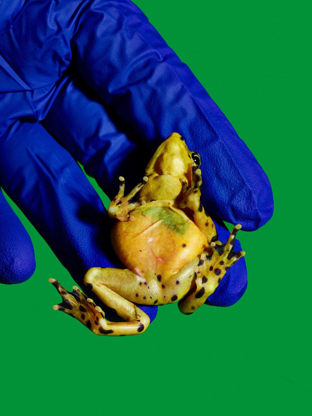 Pregnant Female Panamanian Golden Frog, Smithsonian National Zoo