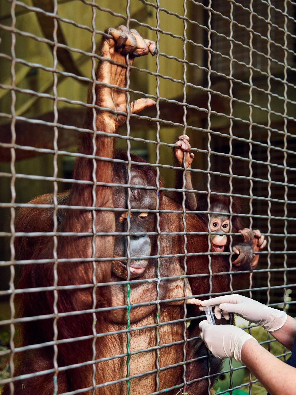Critically Endangered Bornean Orangutan Named Batang Being Milked For The Exotic-Animal Milk Bank, Washington