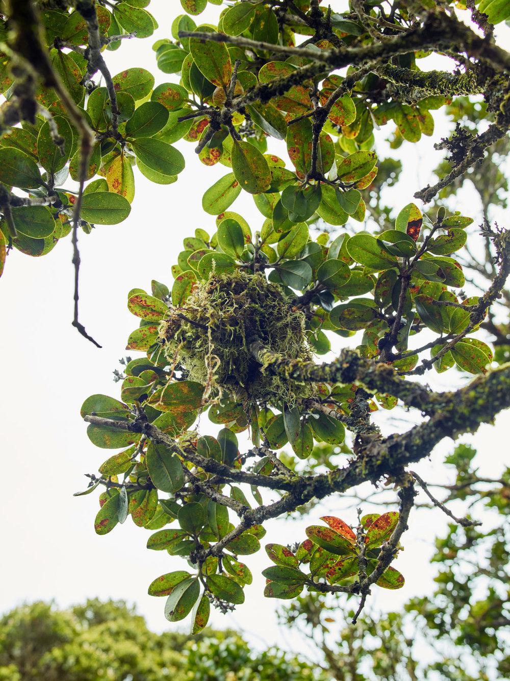 Endangered Akikiki Nest, Alakai Swamp, Kauai, Hawaii, 2018
