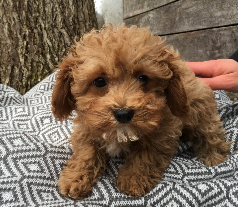 What Is A Cavapoochon Bluebell Pup Cavapoochon Puppies For Sale