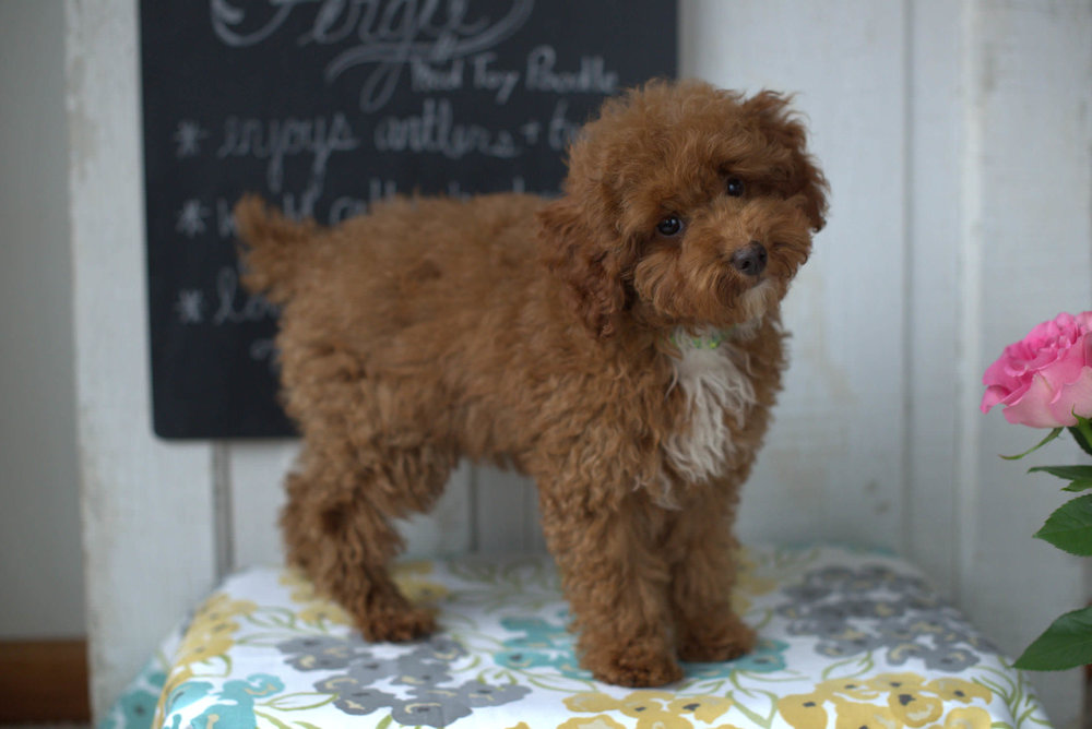 Fergie, our Toy Poodle father