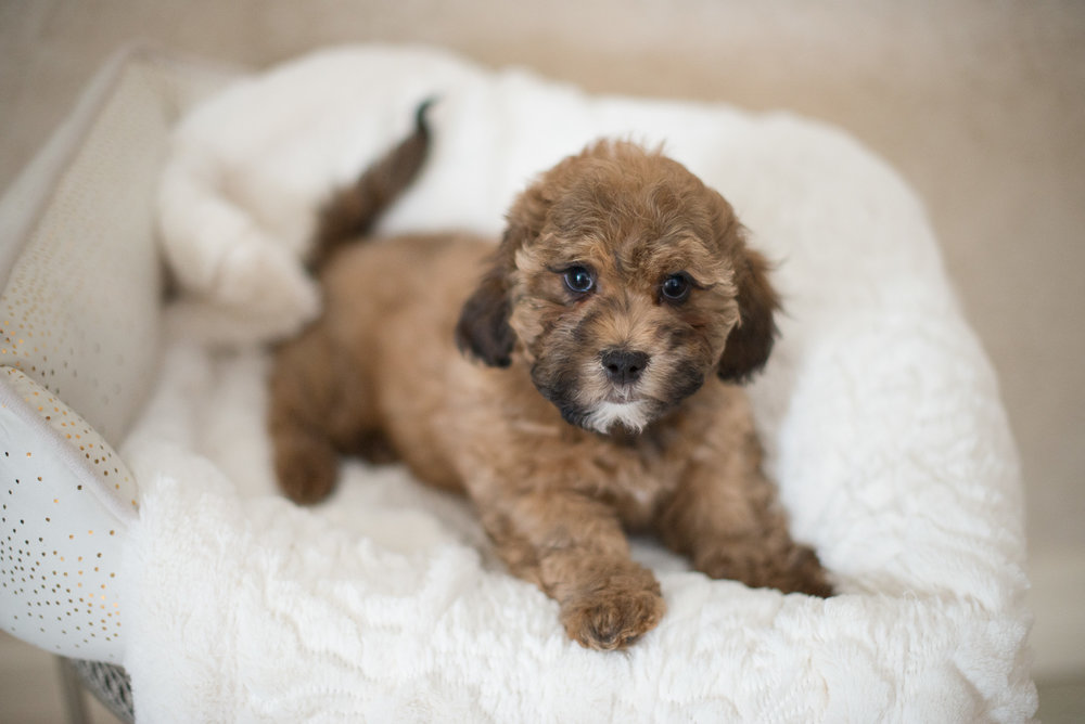 shichonpoo puppy