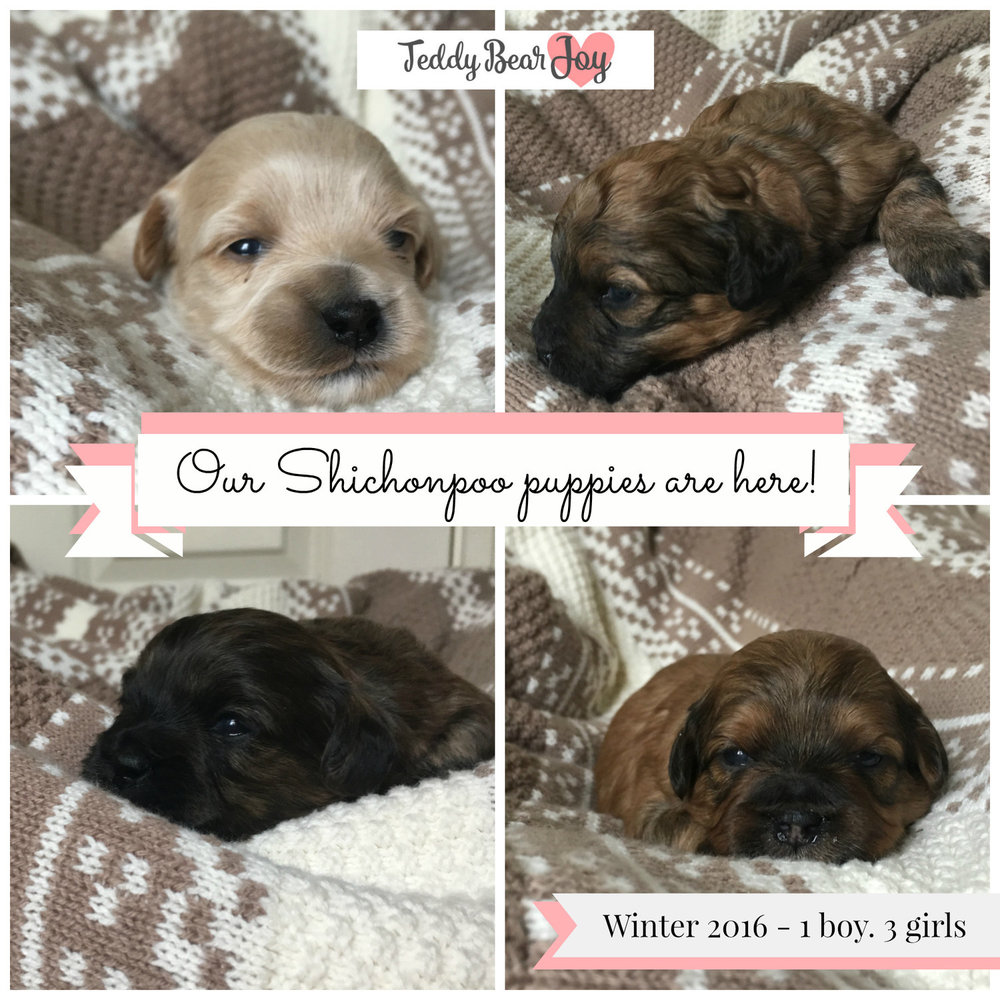Shichonpoo Puppies are here Newborn