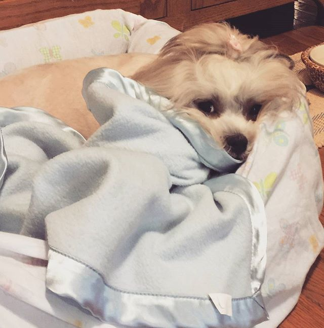 Dear Diary,  The last few days have been cold, rainy, icky, yucky, typical Ohio autumn weather-y days. I find solace in my snuggly wuggly warm, squishy bed, enveloped in my soft, cushy fuzzy wuzzy fluffy blankie. 🐕Let the rain fall! 🐕What do I care- 🐕When I'm in my bed, 🐕Warm and safe there?  #rain #autumn #fall #bed #sleep #prettypup #warm #beautiful #relax #nap #rest #sigh #puppystagram #dogsofinstagram #dogslife #adorable #precious #dogstagram #Phebetheshichon