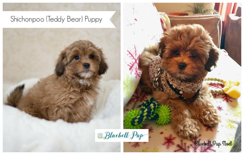 bluebell pup noel shichonpoo teddy bear puppy