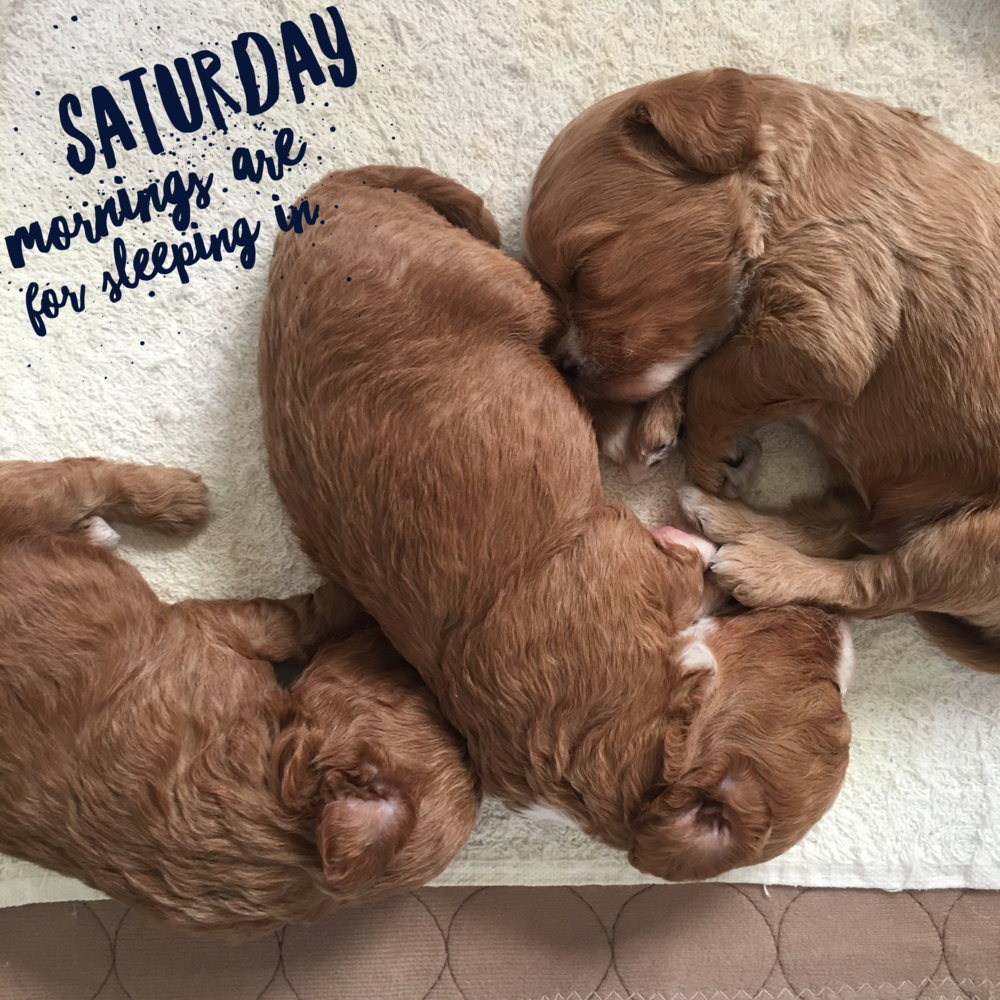 cavapoochon puppies sleeping
