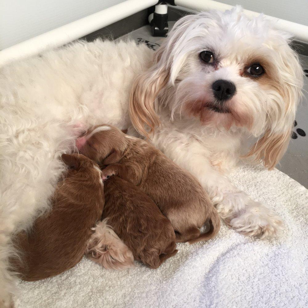 Cavapoochon puppy litter