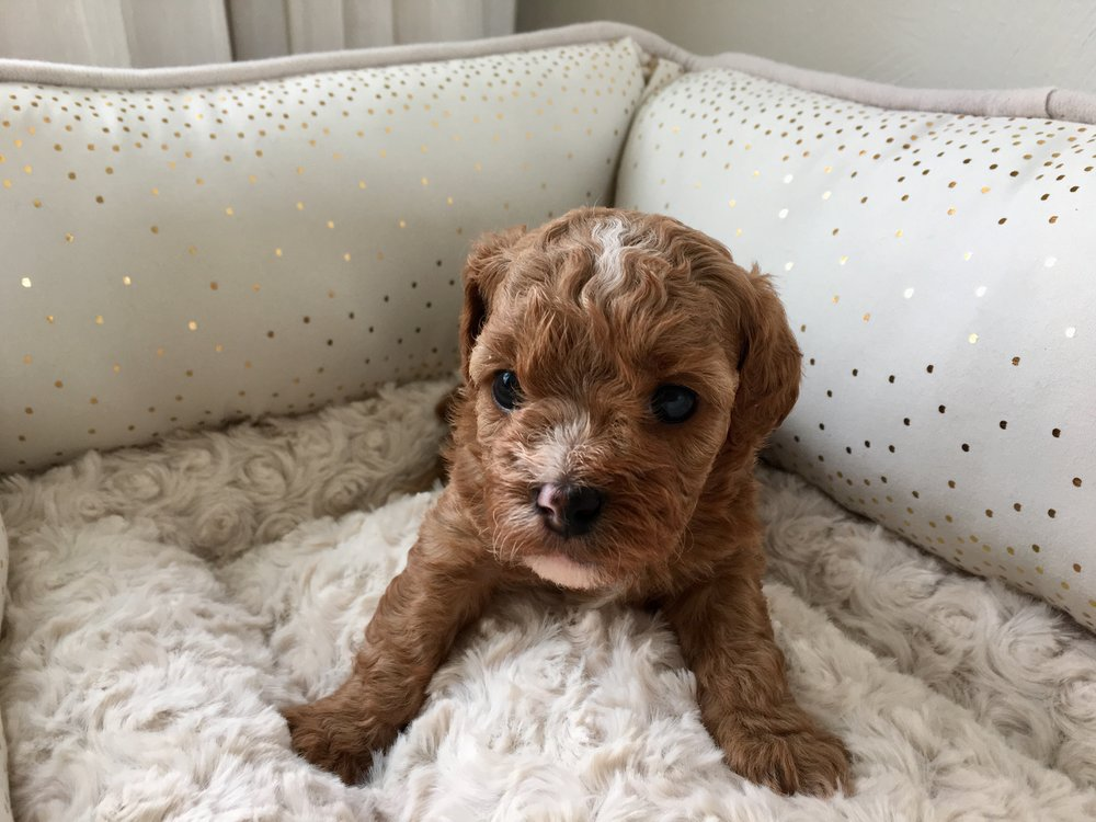 cavapoochon puppy red